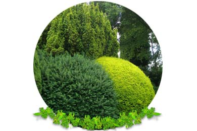 Hedge, Conifer Cutting & Pruning in Lingfield
